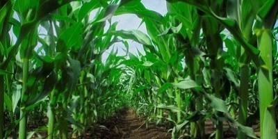 Kukorica lombtrágyázási technológiája