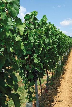 Bor- és csemegeszőlő lombtrágyázási technológiái