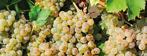 bor-csemegeszőlő technológia