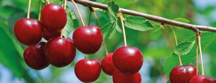 Cseresznye, meggy lombtrágyázási technológiái