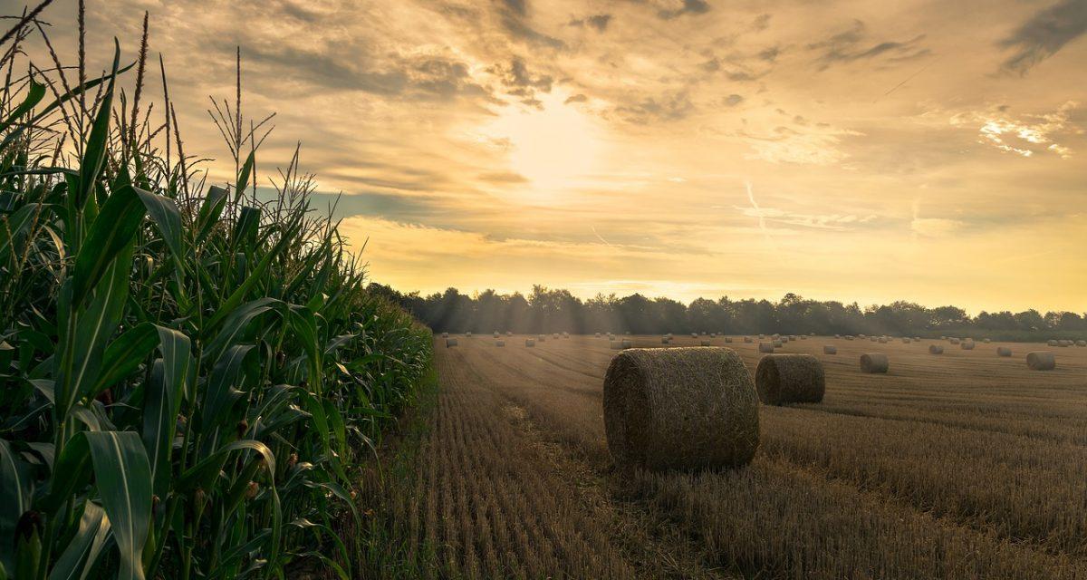 harvest, cornfield, agriculture-4195417.jpg