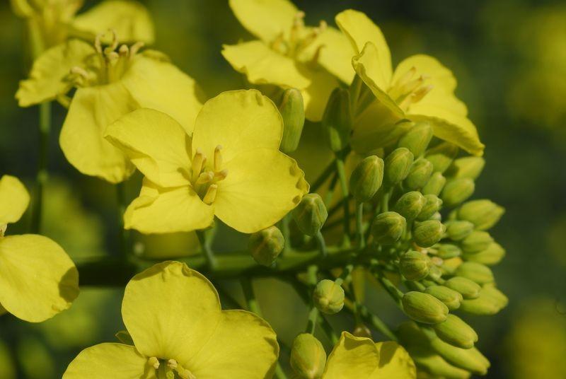 Virágzó őszi káposztarepce