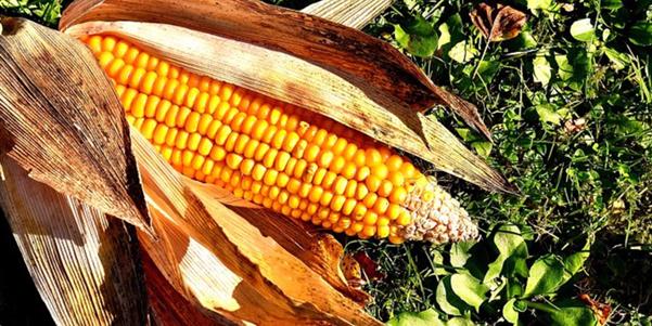 Kukorica tápanyag utánpótlás