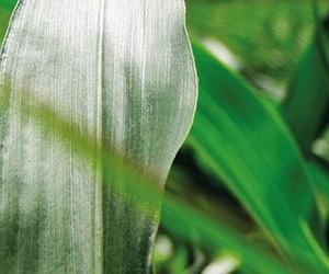 Kukorica technológia címerhányás időszakában