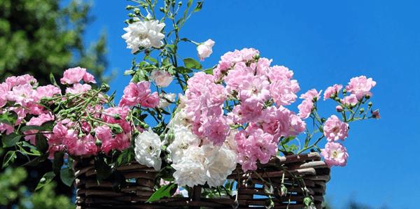 Rózsa tápanyag utánpótlás